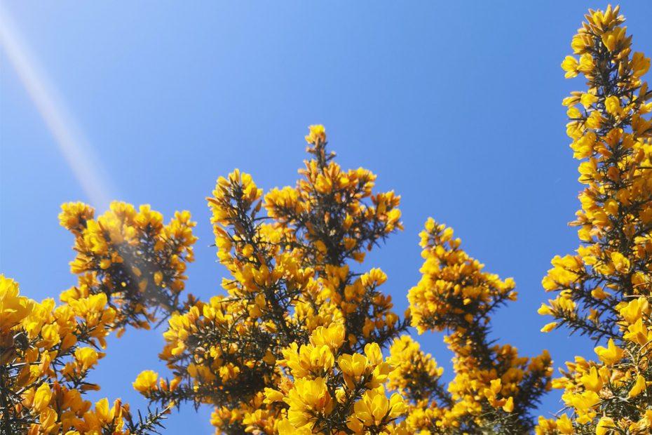 fleurs jaunes d'ajoncs et ciel bleu