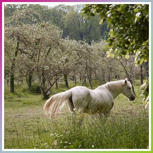 cheval au milieu des pommiers à cidre à caen