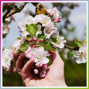 fleurs de pommier dans une main